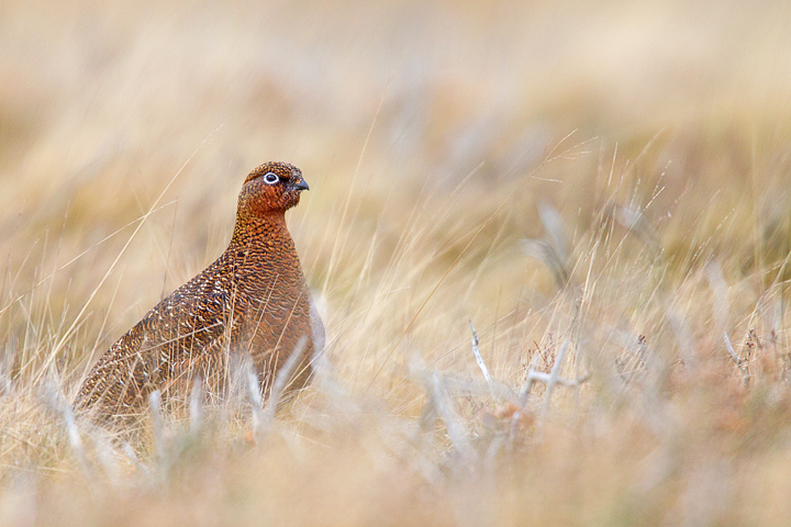 Red Grouse,f in grasses in the Lammermuir Hills.