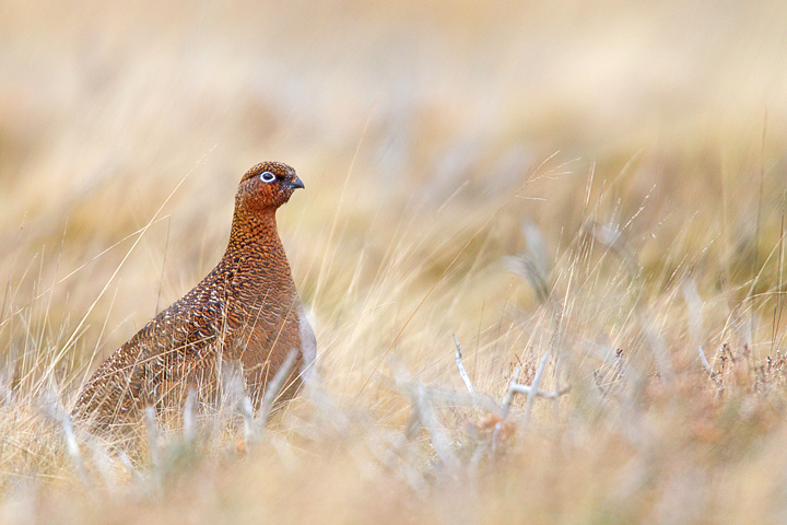 Red Grouse,f in grasses.Has a painterly feel.