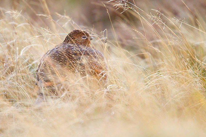 Red Grouse,f in the rain and windswept grasses.