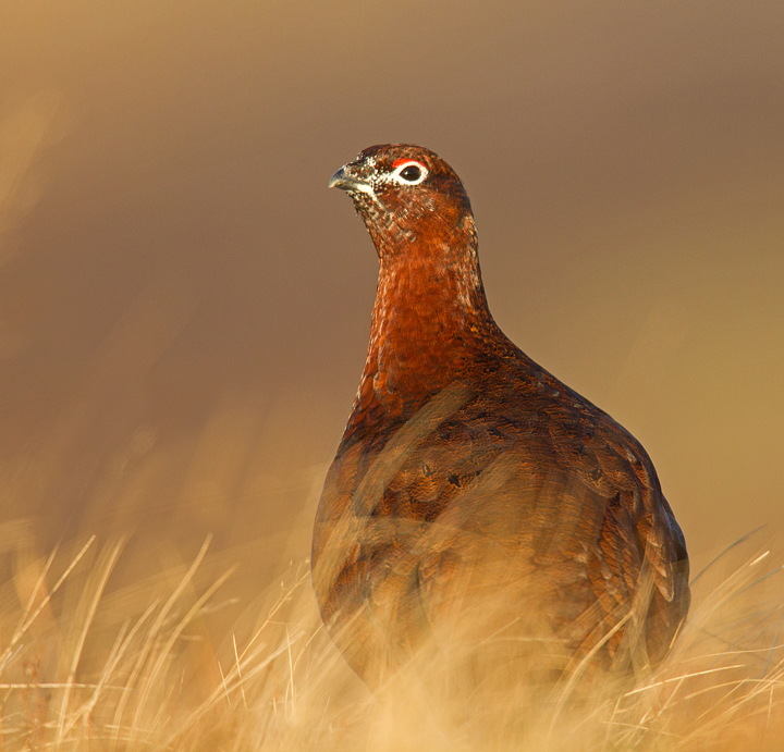 Red Grouse in the low winter sun.