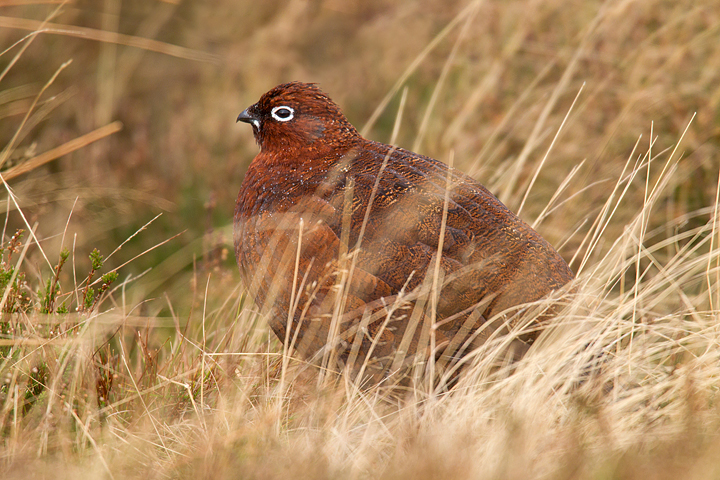 Red Grouse with raindrops,through grasses.