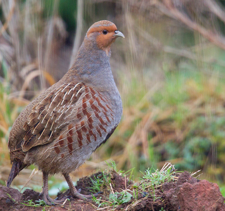 Grey Partridge.