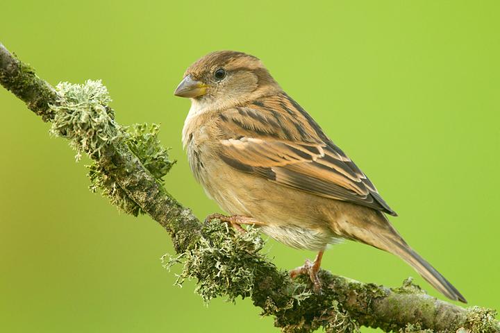 House Sparrow,f.
