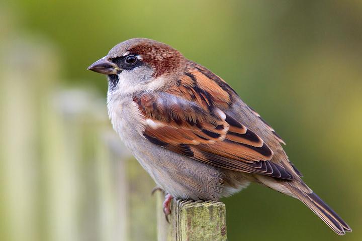 House Sparrow,m.