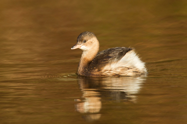 Little Grebe 4.