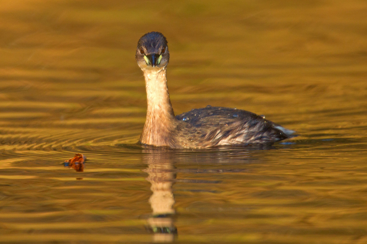 Little Grebe and beech leaf.