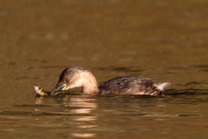 Little Grebe with fish.