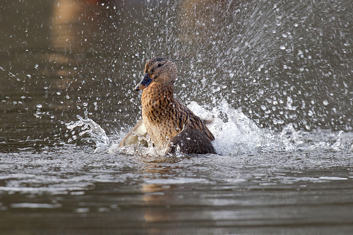Mallard,f bathing and splashing about.