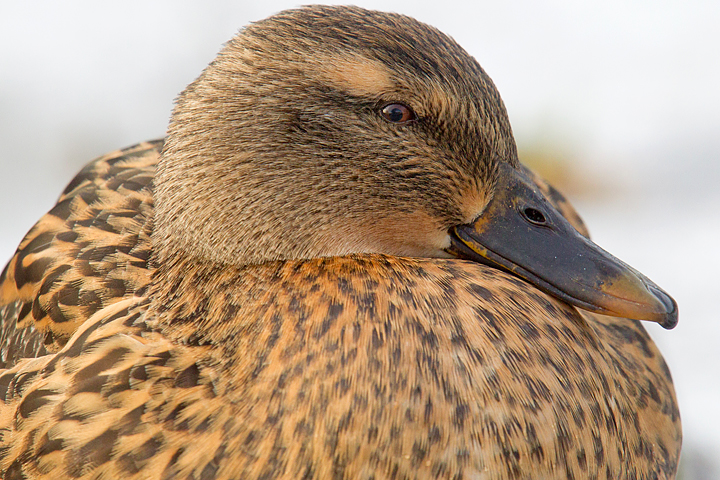 Close up of a female Mallard.