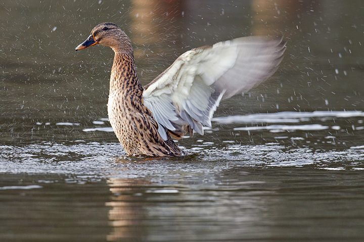 Mallard,f wing stretching and splashing about.