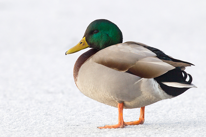 Mallard,m on the ice.