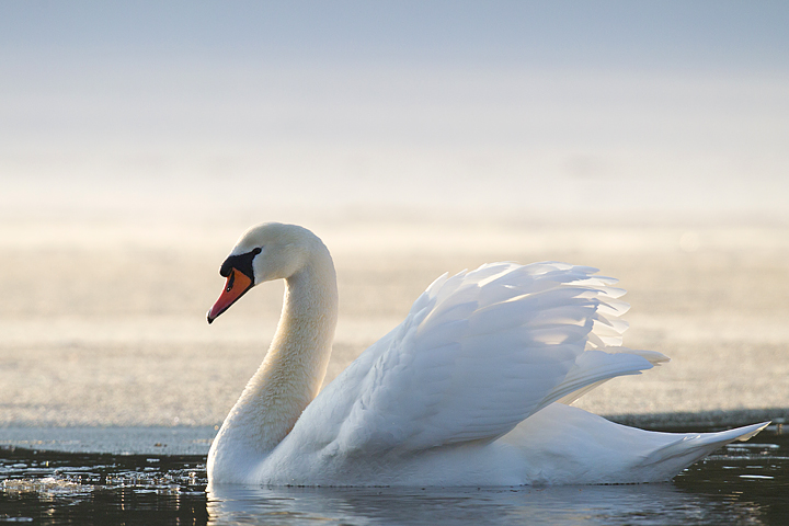 Mute Swan glides by.