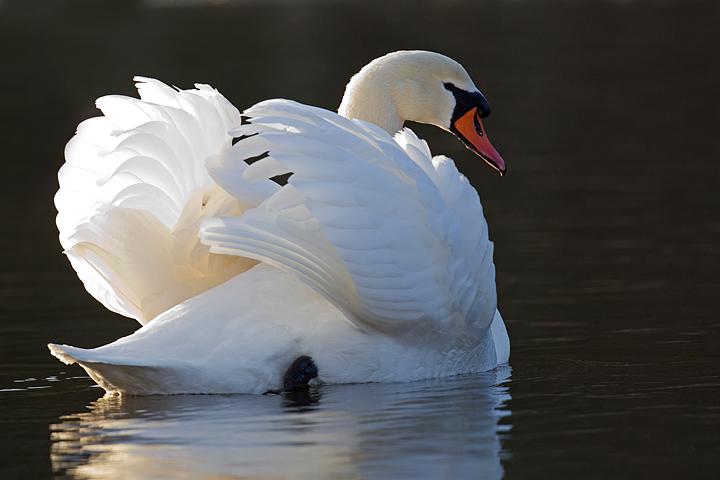 Mute Swan,backlit.
