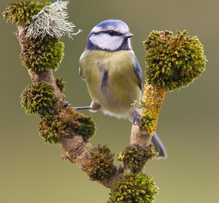 Blue tit in my Chirnside,Berwickshire garden.