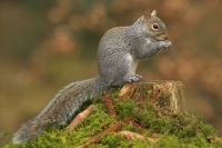 Grey Squirrel feeding on mossy stump.