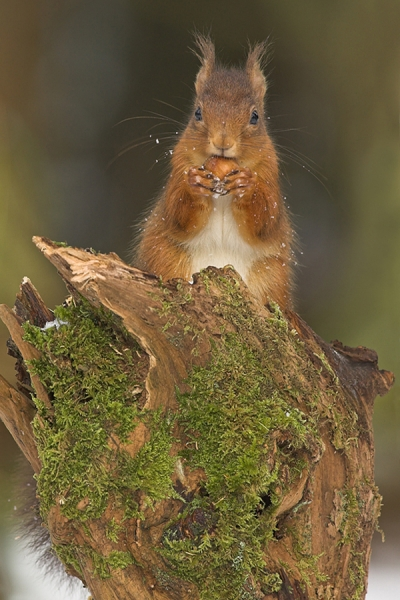 Red Squirrel with snowy whiskers.