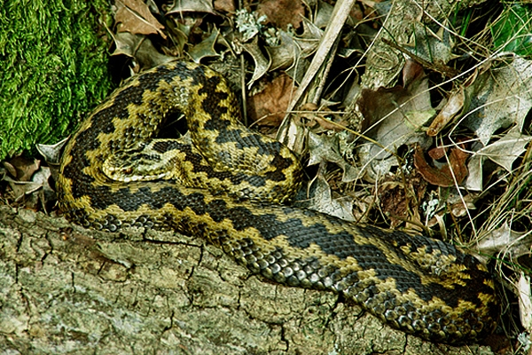 Female Adder.
