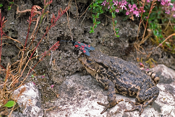Toad with Burnet Moth.