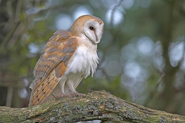 Barn Owl,juvenile. - p...