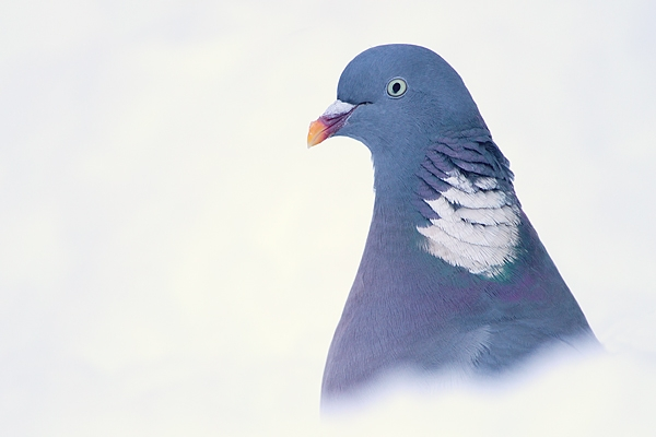 Woodpigeon. Dec. '10.