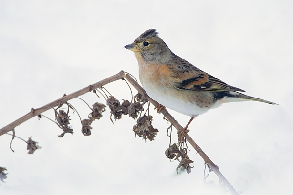 Female Brambling. Dec.'10.