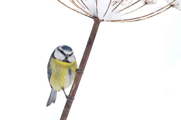 Blue tit on snowy stem 1. Dec '17.