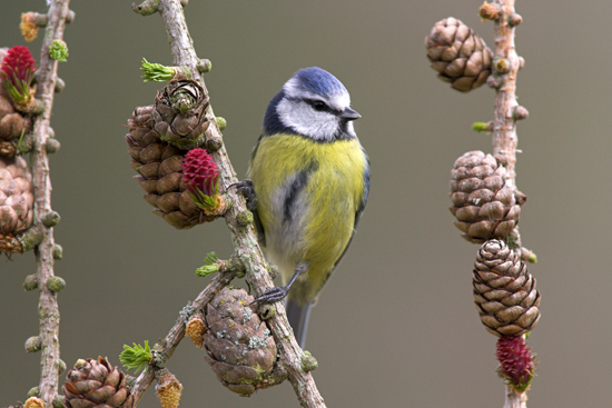 BlueTit on larch.