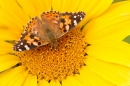Painted Lady on Sunflower 1. Sept. '19.