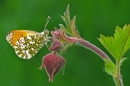 Male Orange Tip on water avens.