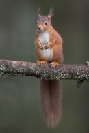 Red Squirrel,stood upright