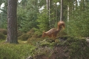 Red Squirrel on mossy mound,in habitat.