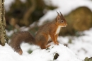 Red Squirrel in snow.