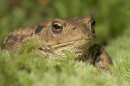 Toad in moss,close up.