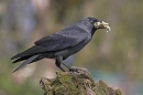 Jackdaw with nest material.
