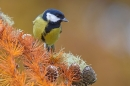 Great tit on larch. Nov '18.