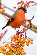 Bullfinch on rowan 5. Nov '18.