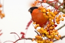 Bullfinch on rowan 4. Nov '18.