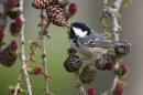 Coal Tit feeding on larch cones.