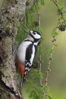 Great Spotted Woodpecker,f.