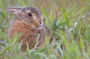 Leveret soaked in grass. May. '15.
