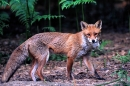 Fox with rabbit prey.