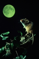 Harvest Mouse in the moonlight.