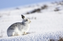 Mountain Hare in the snow 1. 4/3/'10.
